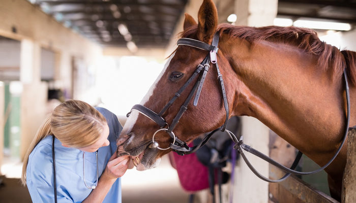 Female vet examining horse teeth